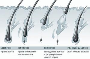 Этапы роста волос. Профилактика и лечение облысения в Калинингрдраде
